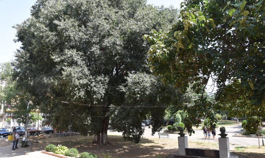 Ќе се уредуваат крошните на дрвјата пред Центарот за култура во Кочани – подготовки за партнерното поплочување на Градскиот парк